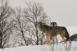 Howling in Norway