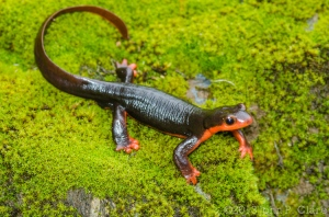 Taricha rivularis (Red-Bellied Newt)