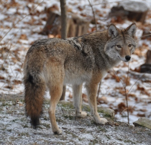 2.BEST-BEACH-COYWOLF