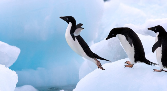 adelie-penguin-facts