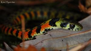 asian tiger snake
