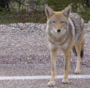 Coyote_arizona
