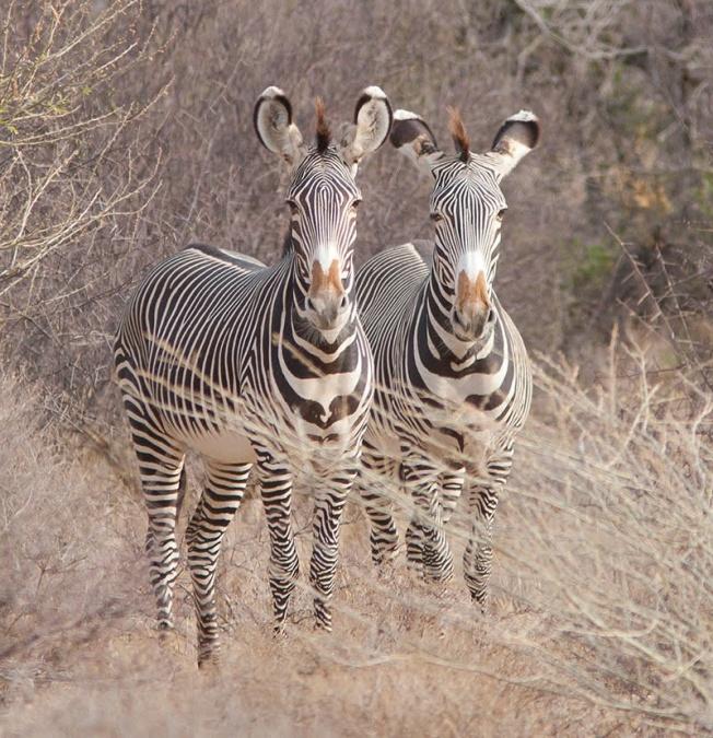 grevy's-zebra_web
