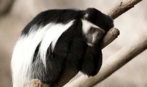 H_orig_colobus_monkey_branch_resting_gal