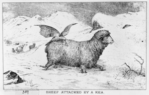kea_sheep