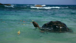 Aldabra giant tortoise, floating, sea, dispersal, raft