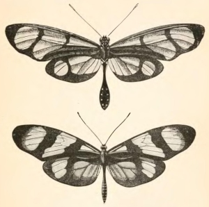 An illustration from Bates' original paper (Transactions of the Linnean Society vol. 23, 1862) in which he proposed his theory of mimicry. Shown here is a detail from plate 56 (Bates, 1862) showing the classic example of mimicry discussed by Bates: Dismorphia (Pieridae) ontop and Mechanitis (Nymphalidae) below.