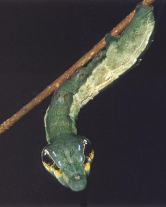 A caterpillar of the Deilephila elpenor species that is using Batesian Mimicry to imitate a tree snake.  Author unknown, original file name: bs-nat-Hawkmoth_Caterpillar-hab-ngs.jpg