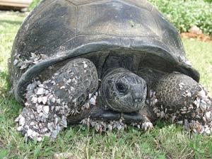 kimbiji-tortoise